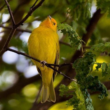 Saffron Finch - 9792