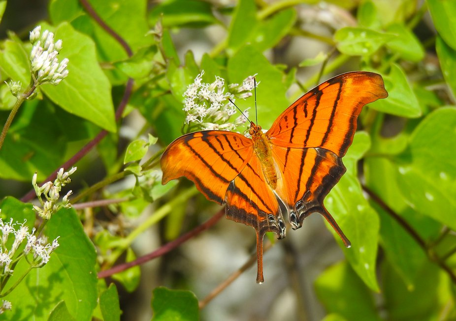 The Ruddy Daggerwing Butterfly is common to the southern tip of Florida and into South America.   This guy was sipping nectar in Tall Cypress Nature Preserve in Broward County Florida.