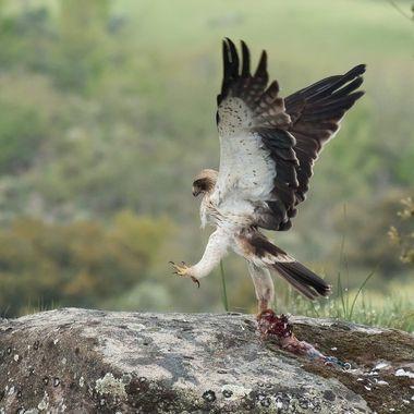 Aguila calzada (Hieraaetus pennatus). Propia de los bosques adehesados del centro de la Peninsula Iberica (Spain).Caza una paloma, se la come y se levanta con los restos