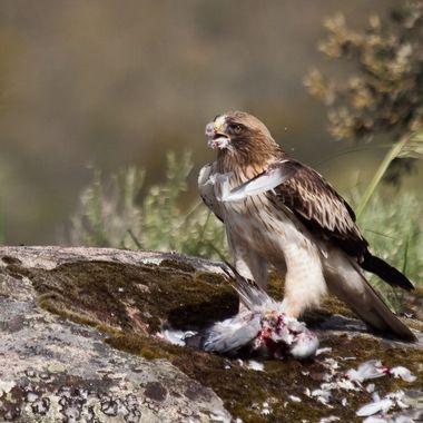 Aguila calzada (Hieraaetus pennatus). Desplumando una paloma recien cazada. wildlife from a hide