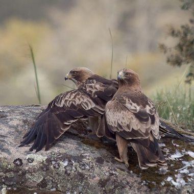 Pareja de Aguilas calzadas (Hieraaetus pennatus). La hembra en actitud de proteger la paloma cazada (alas abiertas), del macho que tambien quiere comer