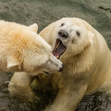 Bear dispute