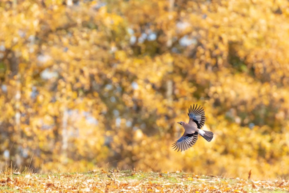 Jay in flight in beautiful Autumn morning light with yellow leaves in the background. Photographe...
