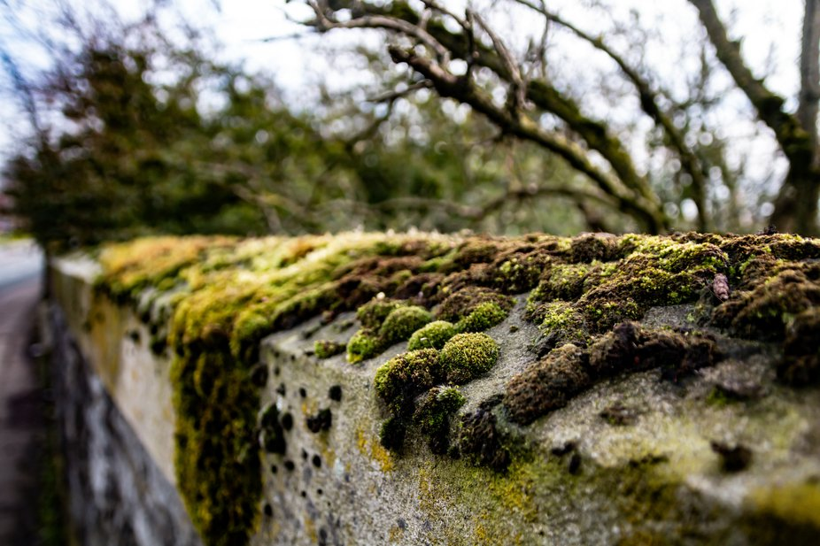 The moss and algae growing on top of a stone wall in winter time