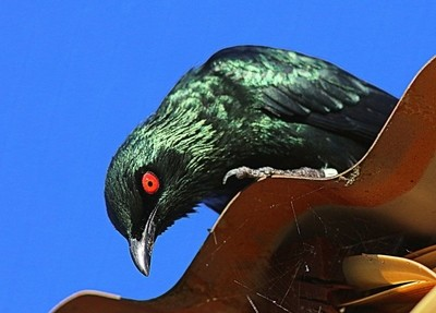 The red eyes of the Metallic Starling AKA Balinese starling.