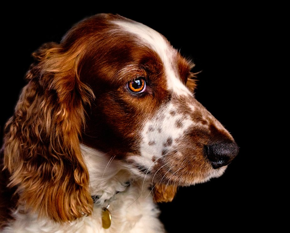 Pure Love My Welsh Springer Spaniel Eryn