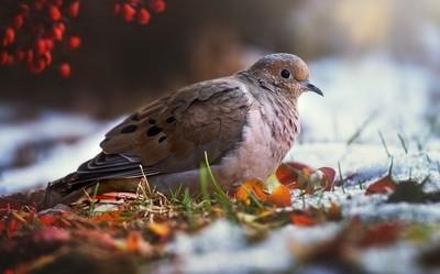 Nestled Dove