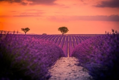 Summer meadow, lavender lines in Velansole, Provence