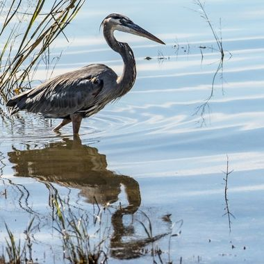 A great blue heron looking for breakfast on the shore of Lake Travis, Texas.