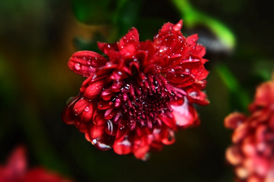 Raindrop flower red