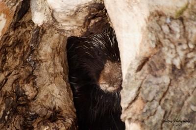 Porcupine in Den Entrance