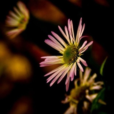 This Swamp Aster seems to be the last flower still blooming.  #trailsend #swampaster #wildflowers #wildflowerphotography #outthebackdoor #backyardnature #canon_photos #canonphotography #pocket_flowers #raw_flowers #ig_flowers #naturyst #naturalnewyork #sh