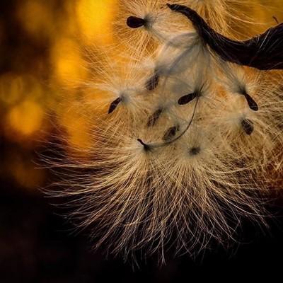 Milkweed at sunset.  #trailsend #milkweed #sunset #bokeh #wildflowers #wildflowerphotography #sunsetphotography #bokehphotography #wander #outthebackdoor #backyardnature #canon_photos #canonphotography #canonglobal #pocket_flowers #raw_flowers #zonephotog