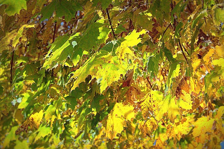 Autumn abstraction. Maple. Ukraine.