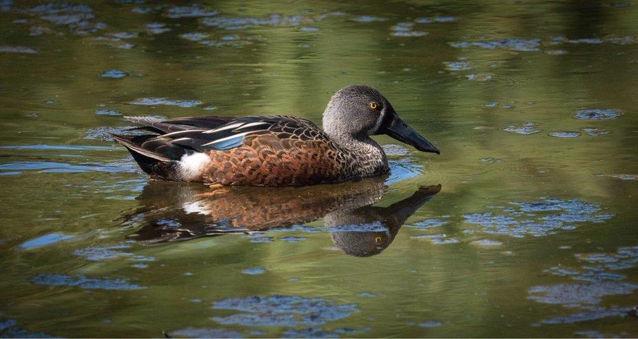 A Shoveler Duck