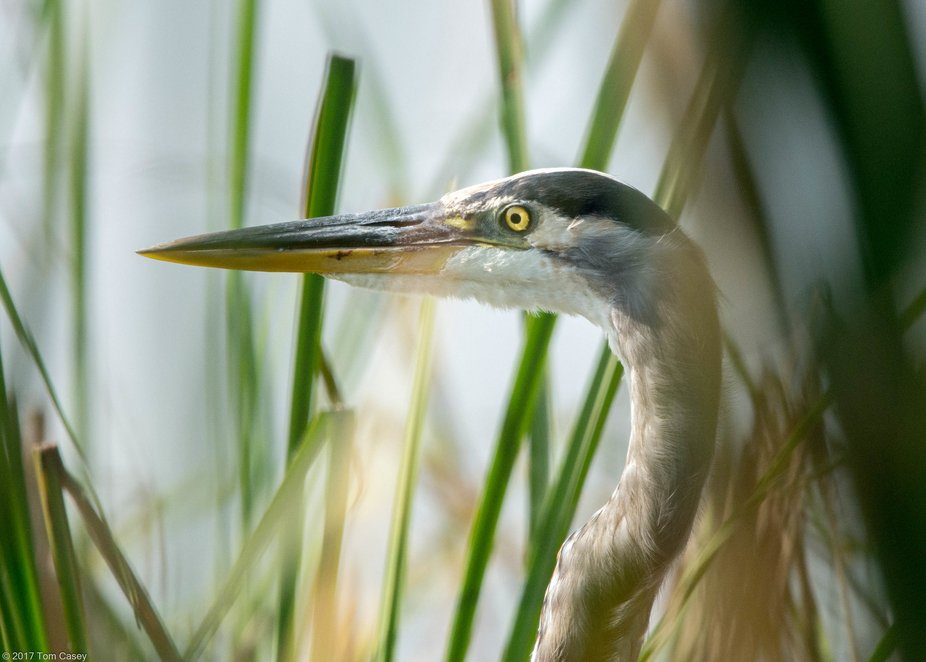 A patient Great Blue Heron that allowed me to get unusually close.