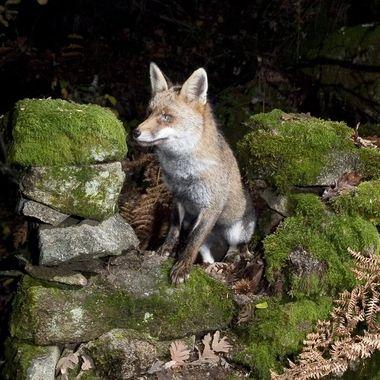 Zorro comun (Vulpes vulpes) pillado fotograficamente en el hueco de una pared de piedra con musgo. Con barrera de Infrared y flashes