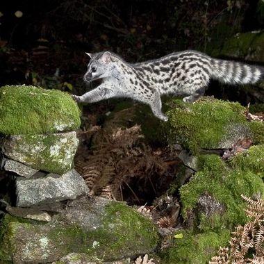 Salto de Gineta (Genetta genetta), mamifero carnivoro nocturno. Foto con barrera de IR y flashes