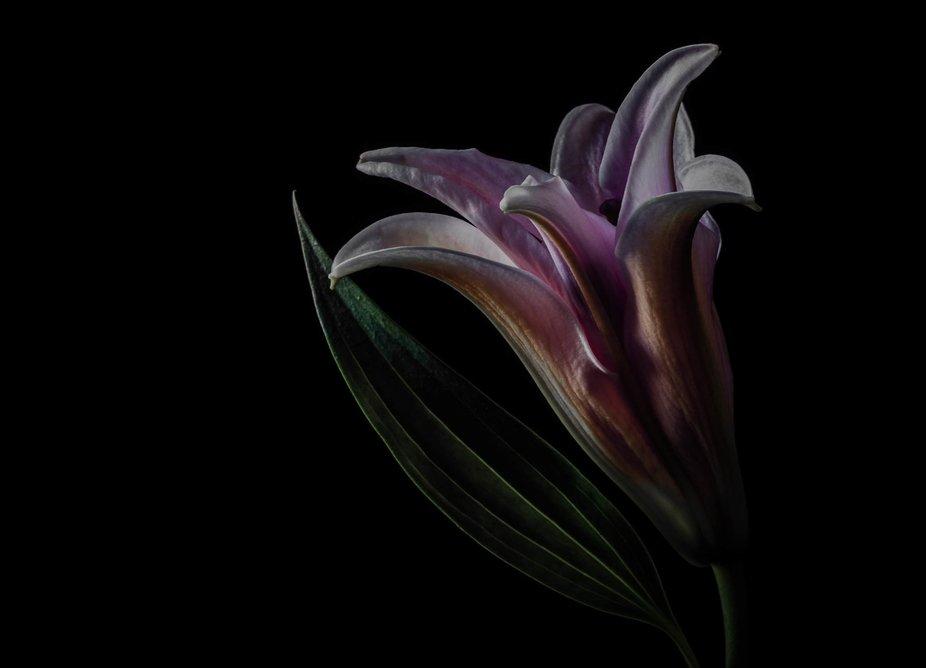 Lily on a dark background.