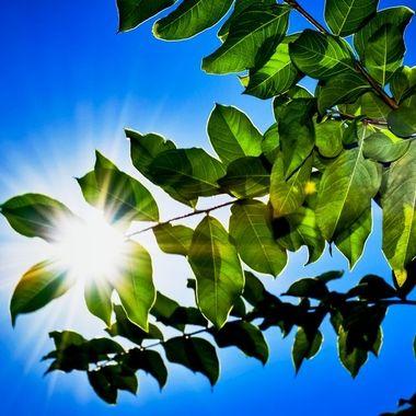Sun Flare Through the Leaves