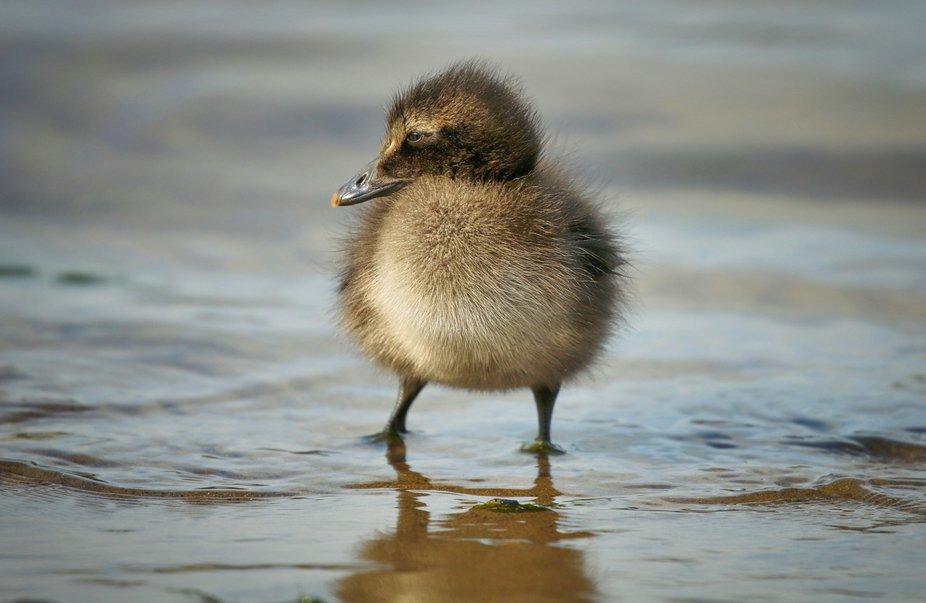 Eider duckling