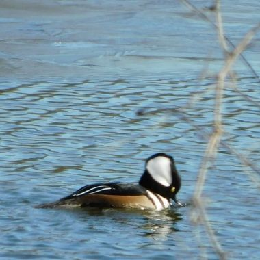 Hooded Merganser 2