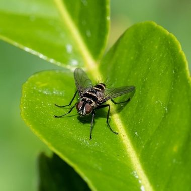 Aussie Leafroller Fly