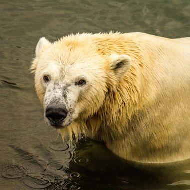 Poser bear
