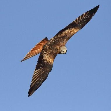Milano real (Milvus milvus),en vuelo de planeo,cuando baja al suelo a coger alimento, realiza un giro brusco de 90 grados, dificil de captar con camara fotografica.