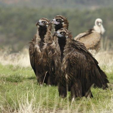Tres Buitres Negros (Aegypius monachus),juntos. Este buitre es el ave de mayor envergadura de Europa (Distancia entre puntas de alas extendidas, aproximad. 3 mts). Es el equivalente europeo al Condor americano.
