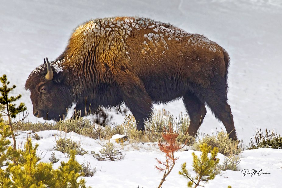 The morning was mostly cloudy, and a brief snow flurry had just occurred. When the bison reached ...