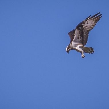 An osprey at a high hover while looking for breakfast on Lake Travis, Texas