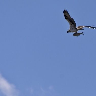 An osprey heading home after successfully catching  a large (bass??) on Lake Travis, Texas
