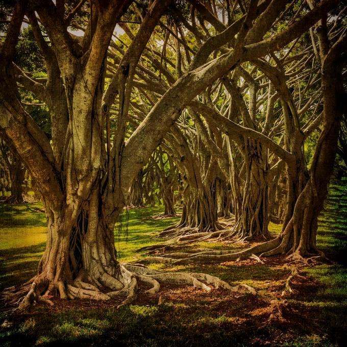 Banyan Tree Jungle