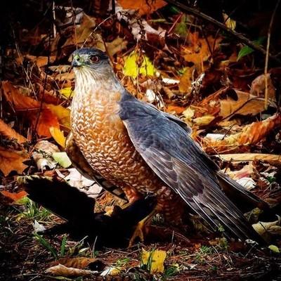 Cooper's Hawk with a Grackle.  #trailsend #coopershawk #birdsofprey #birding #birdwatching #birdphotography #outthebackdoor #backyardnature #canon_photos #canonphotography #elite_raptors #bird_brilliance #best_birds_of_world #best_birds_of_ig #pocket_bird