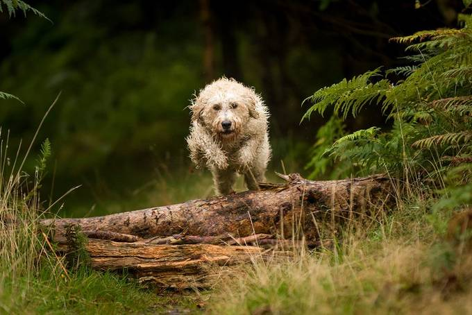 Jumping Doodle by pjapk - Dogs In Action Photo Contest