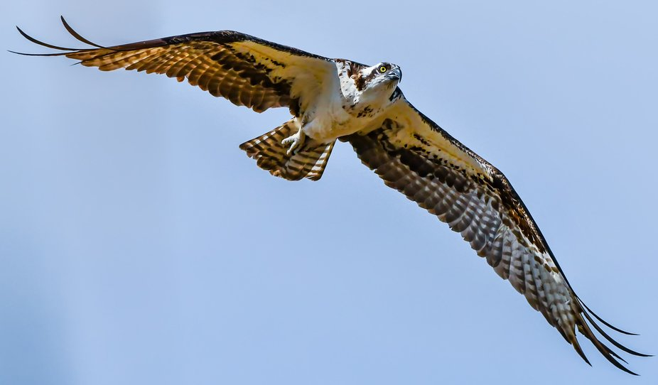This osprey (Pandionidae) was hunting fish between a stream and small pond. Photographed in San J...