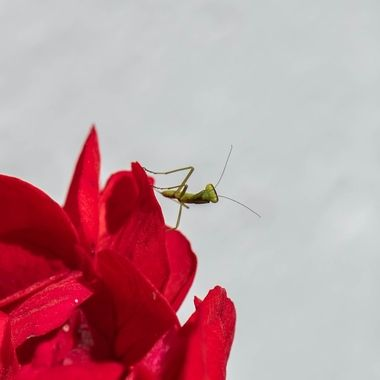 Mantis on red