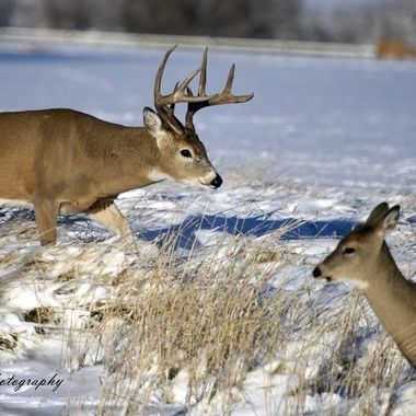 Whitetail Chasing
