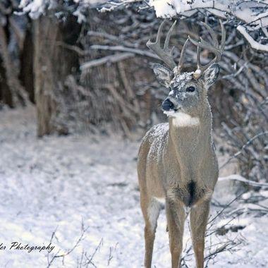 Wyoming Whitetail