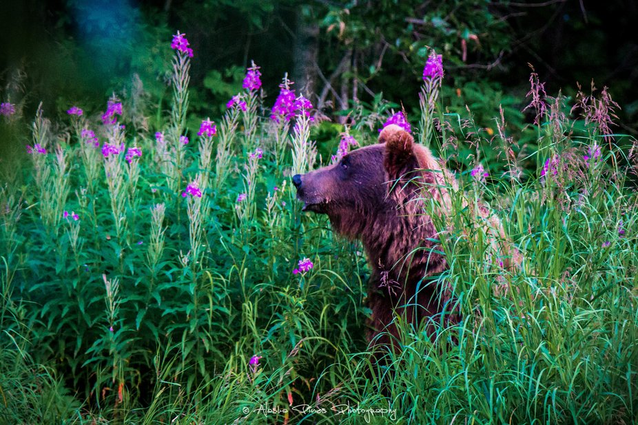 This sow brown bear was sitting quietly in a patch of fireweed while her 3 cubs played in the river, chasing salmon.