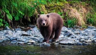 Brown Bear Cub Posing