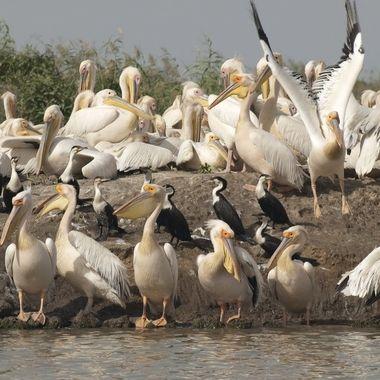 Colonia mixta de cria de Pelicanos (Pelecanus onocratulus) y cormoran africano (Microcarbo africanus), en una de las islas de la desembocadura del rio Senegal.(Africa)