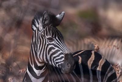 Zebra at Pilanesberg National Park