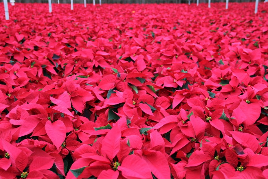 A green house full of Poinsettia's ready to be shipped out for the holidays.