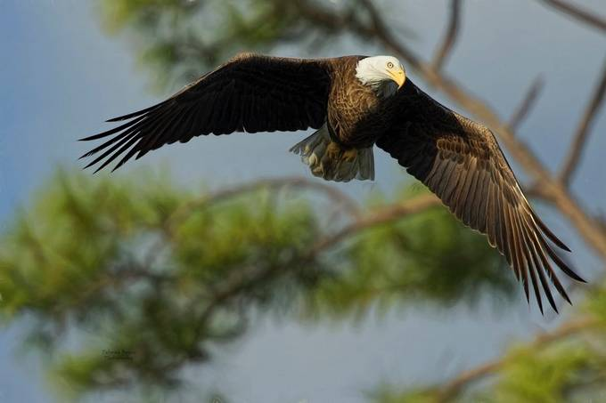 Eagle Flight 1 by shiningwillow1018 - Majestic Eagles Photo Contest