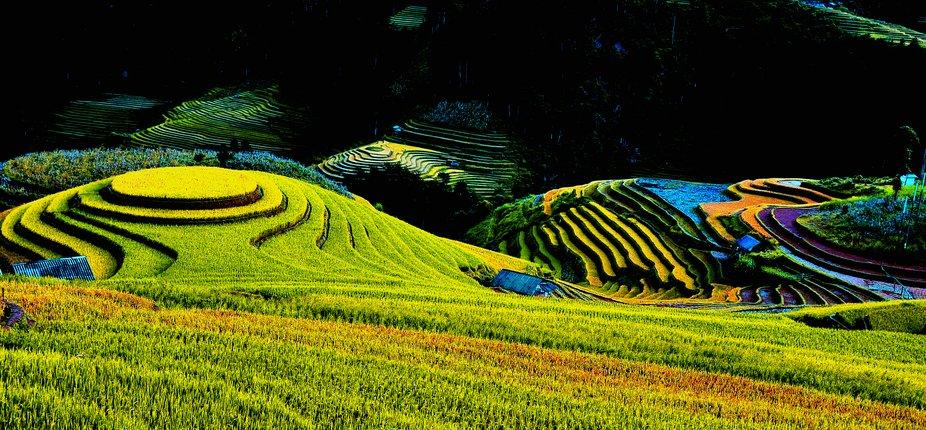 Paddy Rice Field . The photo was took on La Pan Tan Village - Mu Cang Chai Dist. Yen Bai Pro. Vie...