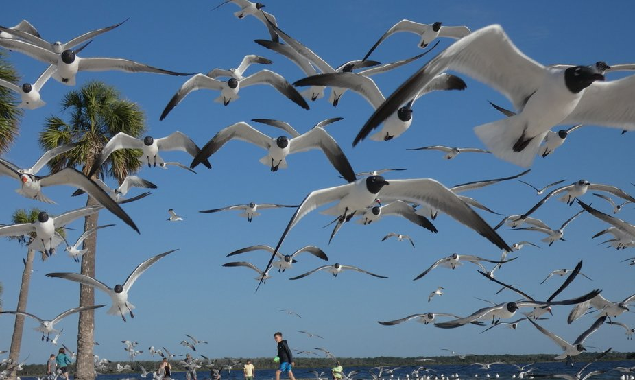An abundance of Seagulls taking over the beach.