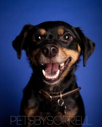 Miniature Pinscher smiling