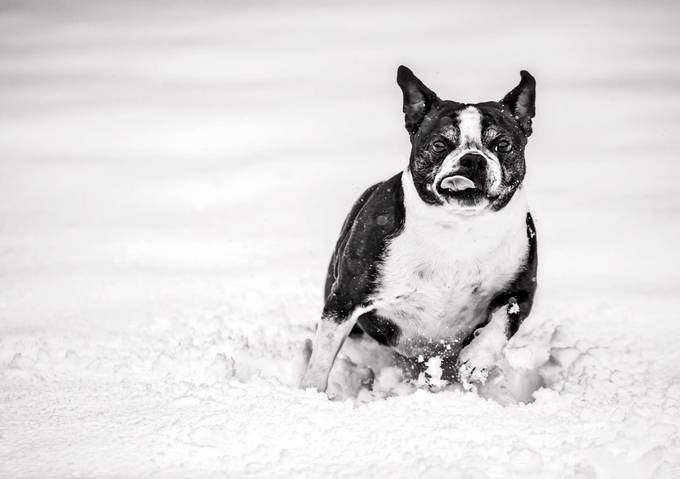 Small and Determined  by MeOost - Dogs In Action Photo Contest